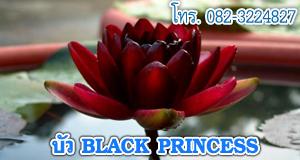 ขายบัว black princess