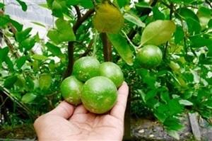 ขาย กิ่งตอน มะนาวพันธุ๋ ไร้เมล็ด กิ่งส้มเขียวหวาน (ย่านบางมด)
