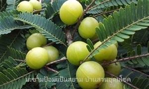 ลักษณะพฤกษศาสตร์และประโยชน์ของมะขามป้อม