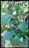 ต้นพริกไทย
