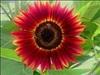 เมล็ดพันธุ์ไม้ดอก-ไม้ประดับ
