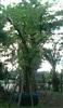 ต้นหมากเม่า