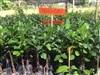 เมล็ดพันธุ์ไม้ผล-ไม้ยืนต้น