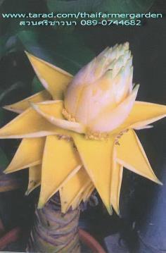 กล้วยคุนหมิง