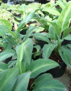 เดหลีแคระ หรือ กวักเงินกวักทอง (Spathiphyllum sp.)