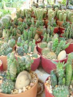 สวนถาดตะบองเพชร (cactus)