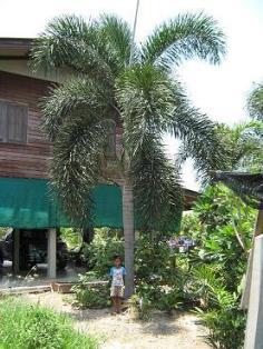 ต้องการขายต้นฟอกซ์เทลขนาดใหญ่ สูง 5-6 เมตร ลำต้นอวบ ใบสวย
