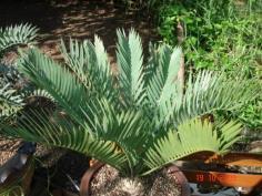 Encephalartos Princeps 16 c.m.