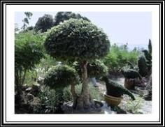 ต้นหมากเล็ก