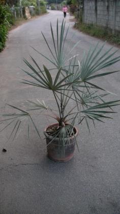 ตาลฟ้า ( Bismarckia nobilis ) ต้นที่ 2