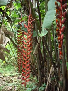 heliconia longissima Red wings