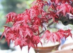 Acer palmatum cv.desyoujou