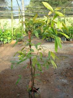 ต้นมะดันทาบกิ่ง