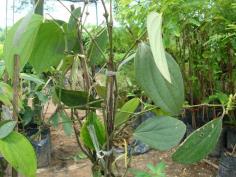 ต้นพริกไทมาเล