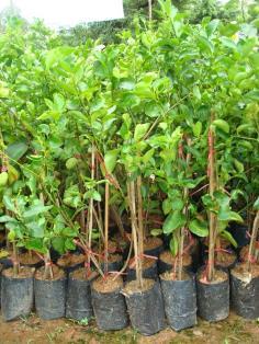 ต้นมะนาวแป้นพิจิตร 1(ไม้ตอน)