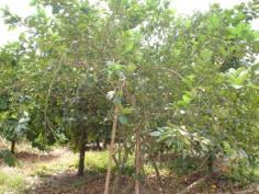 ต้นมะนาวยักษ์