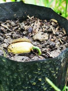 เมล็ดผักหวานป่า