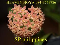 Hoya SP.plilippines