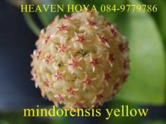 Hoya mindorensis sweet yellow