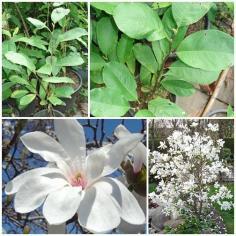 """Magnolia loebneri """"Merrill"""""""