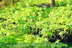 ต้นกล้ามะละกอ ฮอลแลนด์ ถุงละ ...