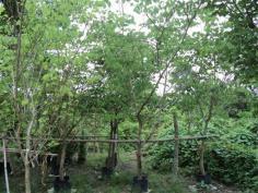 ต้นชงโคฮอลแลนด์ 4  นิ้ว