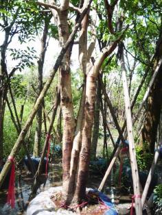 ต้นคูน