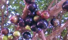 องุ่นต้นบราซิล ผลสวย กินได้