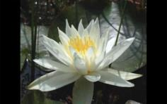 บัวสีขาวหอมๆ Nymphaea Odorata