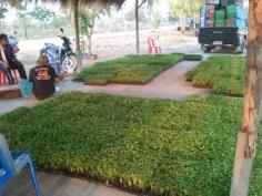ขายต้นกล้าพริก,รับเพาะต้นกล้าผักสวนครัว
