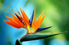 Blue_Bird_of_Paradise