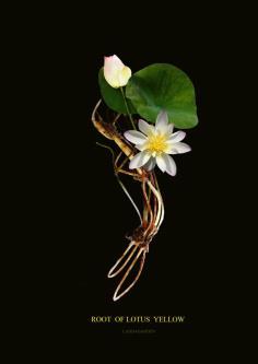 บัวหลวงสีเหลือง lotus  yellow