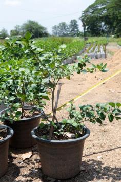 ต้นมะนาว แป้น