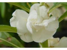 เทียนดอกขาว