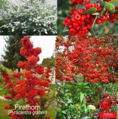 ไฟรทรอน Firethorn