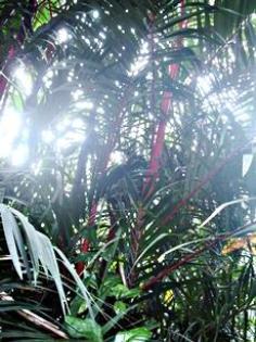 หมากแดงสูงตั้งแต่ 2-5 เมตร ราคาย่อมเยาว์