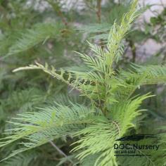 ซิลค์โอ๊ค Silk Oak , Grevillea robusta