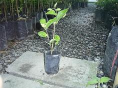 ต้นกล้ามะลิลา(ร้อยมาลัย)