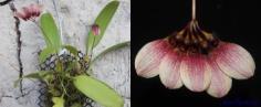 Bulbophyllum  lepidum สิงโตพัดแดงอิสาน