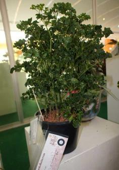 ขายต้นพันธุ์เล็บครุฑโชค(เล็บครุฑผักชี)