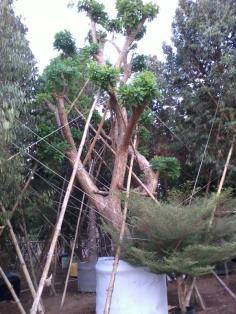 ต้นจิกน้ำ