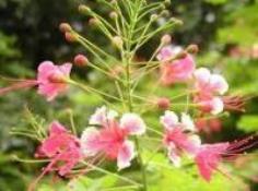 ต้นหางนกยุงไทย