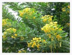 sale seed Cassia surattensis