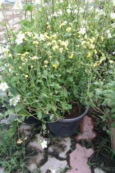 ต้นเก๊กฮวย ดอกสีเหลือง ราคา 30 - 50 บาท
