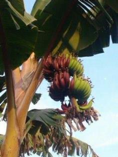กล้วยนากผสมสายน้ำผึ้ง