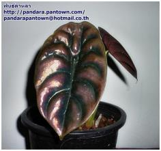 ALOCASIA CUPREA 'Red secret'