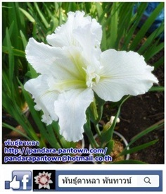 Louisiana Iris white