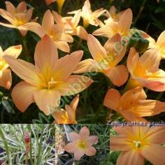 Zephyranthes peach