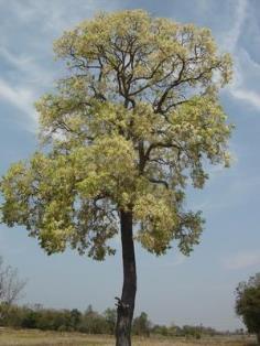 ขายเมล็ดต้นพยอม ไม้ยืนต้น ไม้มงคลและไม้ด