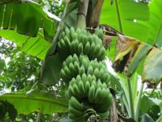 กล้วยนางพญา (หมด)